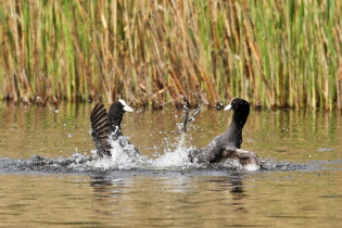 Fighting Eurasian coots
