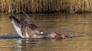 Mating greylag geese