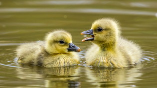 Young greylag geese