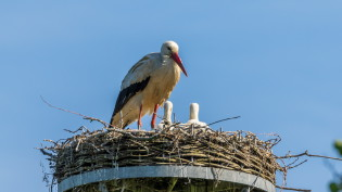 Stork with young