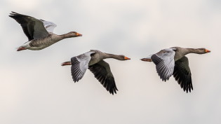 Flying greylag geese