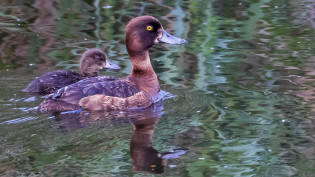 Tufted duck with young