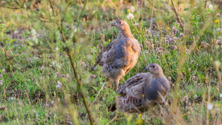 Young grey partridges