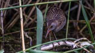 Young water rail