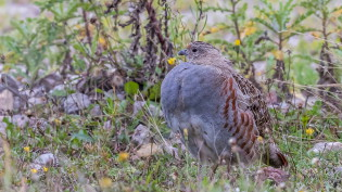 Young grey partridge