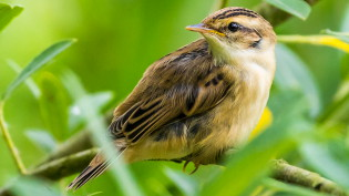 Young sedge warbler