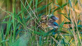 Young little bittern