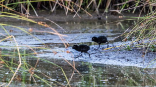 Two young water rails