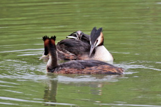 Great crested grebes with young