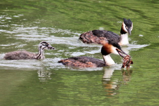 Great crested grebe with crayfish