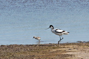 Avocet with young
