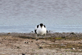 Avocet with two young ones