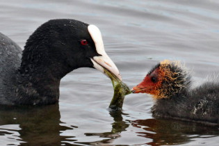 Eurasian coot with young